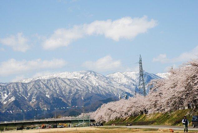 【桜・見頃】勝山弁天桜(九頭竜河畔の桜)
