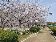 【桜・見頃】伊丹瑞ケ池公園