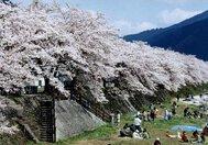 智頭川畔 桜土手
