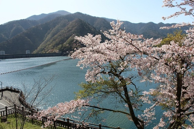 奥多摩湖の桜