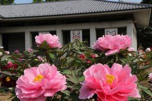 市川三郷町ふるさと春まつり 第20回「ぼたんの花まつり」