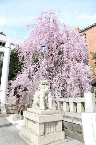 乃木神社 桜茶屋