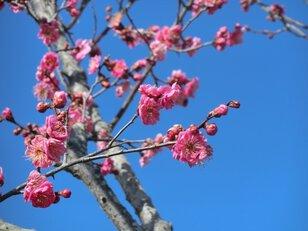 梅を観る会