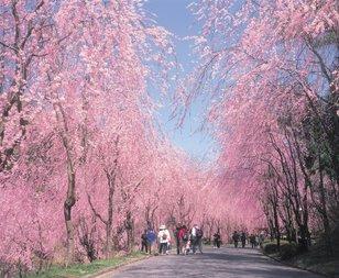 世羅甲山ふれあいの里 桜まつり