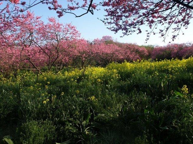 ラ・スカイファーム 菊桃の花まつり