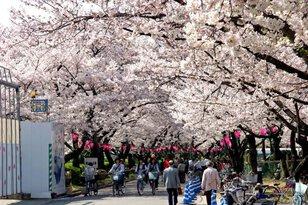 中浜下水処理場 桜の通り抜け
