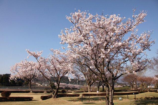 水口スポーツの森の桜