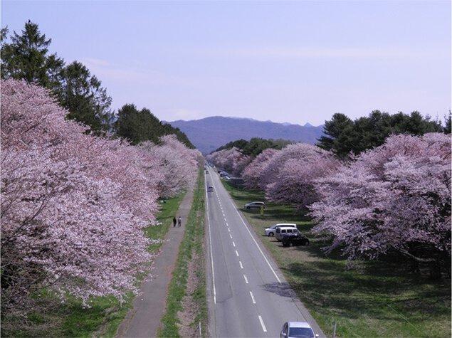 第56回 しずない桜まつり