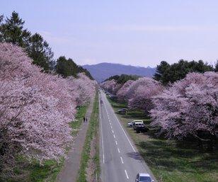 第54回 新ひだか町しずない桜まつり