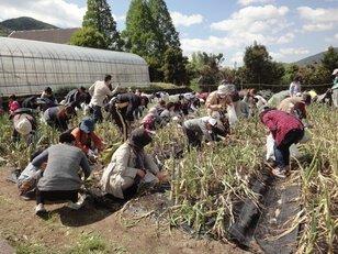 春の収穫祭 新タマネギ(極早生)