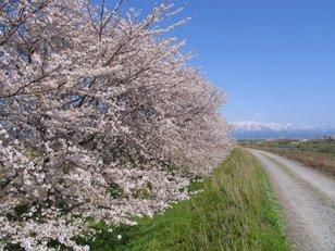 加治川桜まつり