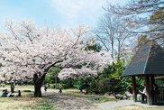 平中央公園の桜