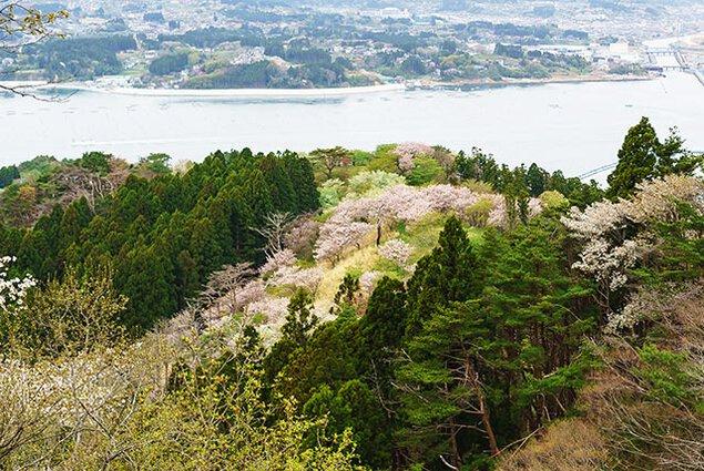 気仙沼大島・亀山の桜