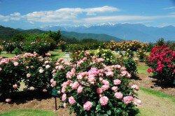 第11回 高遠「しんわの丘ローズガーデン」バラ祭り