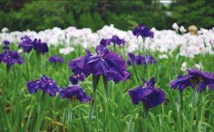 【花・見ごろ】ときわ公園のショウブ