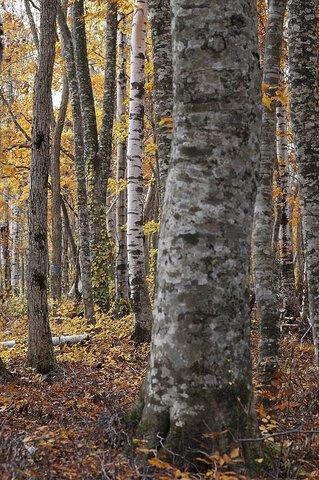 平庭高原の紅葉