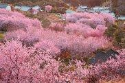 【桜・見ごろ】桑田山雪割り桜
