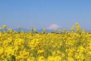 【花・見ごろ】長井海の手公園ソレイユの丘 菜の花