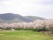 【桜・見ごろ】吉井川河川公園