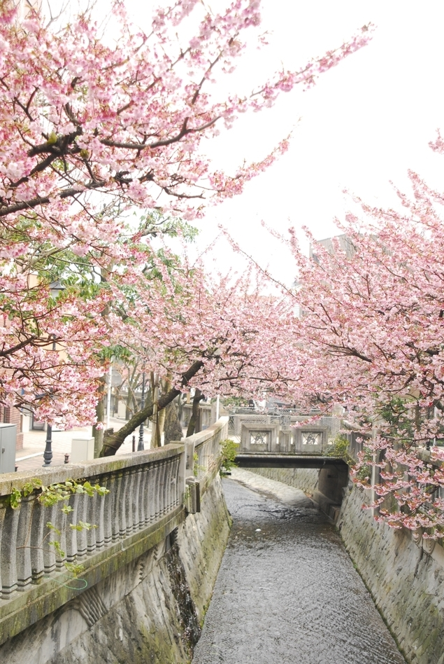 糸川遊歩道の桜
