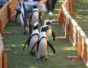 掛川花鳥園 ペンギンのお散歩