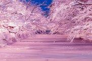 冬に咲くさくらライトアップ