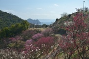 冠山総合公園 第31回梅まつり