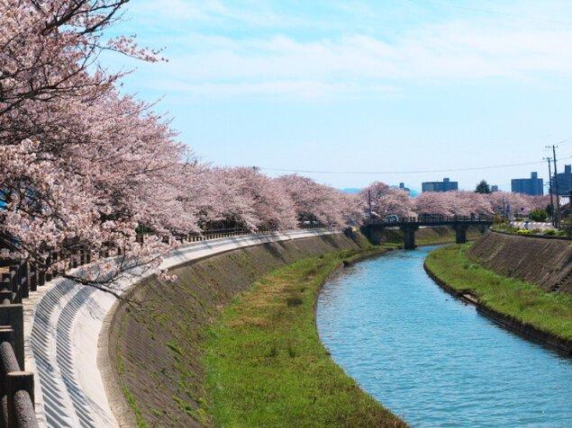 【桜・見ごろ】袋川堤防