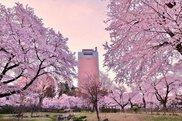 【桜・見ごろ】前橋公園