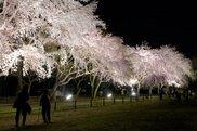 【桜・見ごろ】敷島公園 前橋市