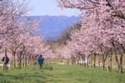 第4回坂戸にっさい桜まつり