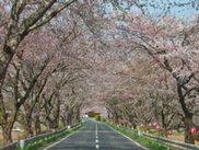【桜・見ごろ】みなみかた千本桜