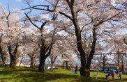 【桜・見ごろ】鹿ヶ城公園