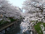 【桜・見ごろ】松川公園