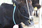 久米島家畜市場 肉用牛セリ市(3月)