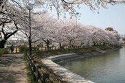 第47回下妻砂沼桜まつり