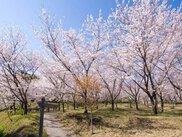 第19回日南市花立公園さくらまつり