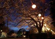 菊川桜まつり~夜桜ライトアップ~