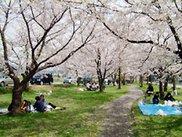 【桜・見ごろ】石川公園