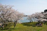 【桜・見ごろ】笠城ダム公園