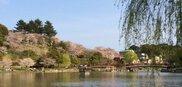 【桜・見ごろ】勝盛公園