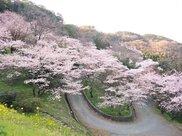 【桜・見ごろ】八木山展望公園