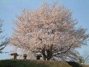 【桜・見ごろ】伊勢塚古墳