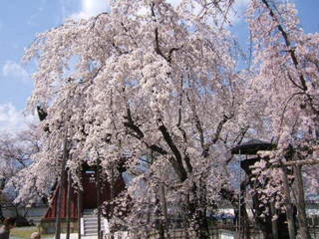 【桜・見ごろ】宝寿院