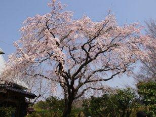 【桜・見ごろ】宝珠寺(一本桜)