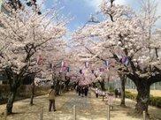【桜・見ごろ】諏訪の桜トンネル