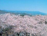【桜・見ごろ】御津山園地