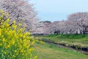 【桜・見ごろ】佐奈川の桜と菜の花