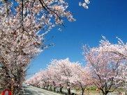【桜・見ごろ】憩いの桜並木