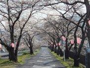 【桜・見ごろ】徳島堰